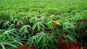 un champs de manioc